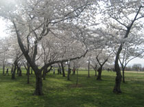 Cherry blossoms were part of the walk