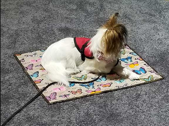 Tiny seizure support dog